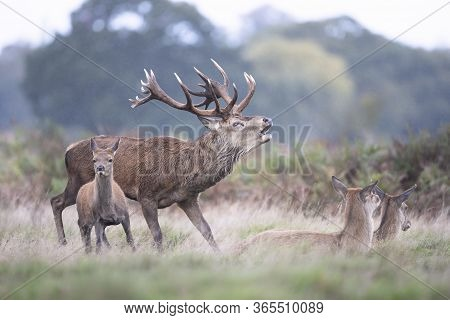 Close-up Of A Red Deer Stag Calling Near Hinds During Rutting Season In Autumn, Uk.