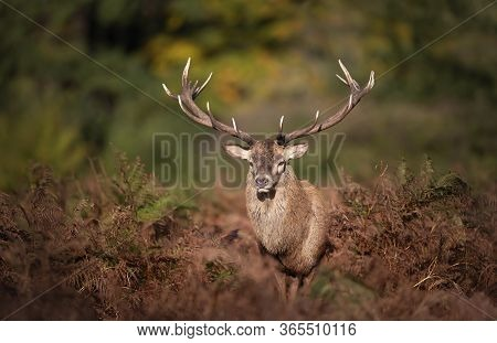 Close-up Of A Red Deer Stag Standing In Fern During Rutting Season In Autumn, Uk.