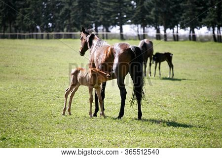 Beautiful Thoroughbred Mare And Her Colt Are Together Outdoors Springtime