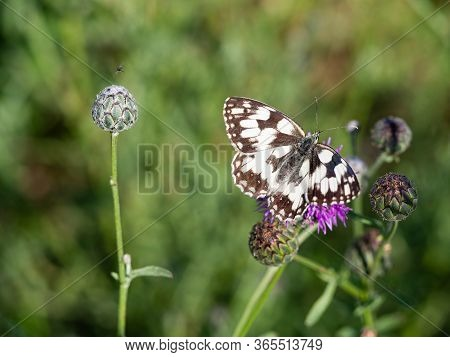 Marbled White Butterfly (melanargia Galathea) On Purple Flower Of Greater Knapweed (centaurea Scabio