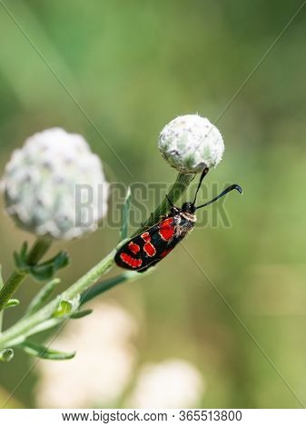 Crepuscular Burnet (zygaena Carniolica) Red And Black Butterfly Sitting On Green Plant In Summer