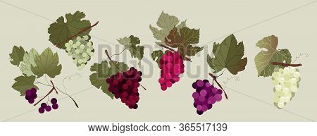 Grape Branch Set. Collection Of White And Red Hand-drawn Vector Isolated Grape Branches. Variety Of