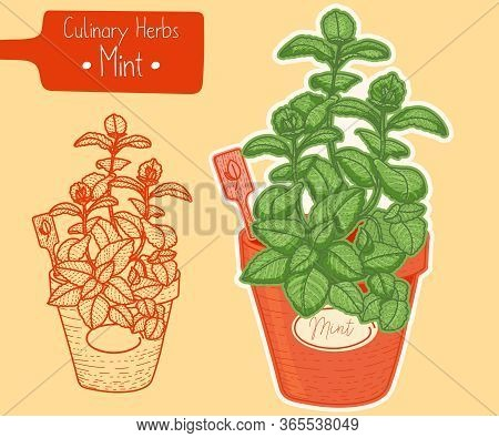 Medicine And Culinary Herb Mint Growing In A Pot, Hand-draw Sketch Illustration