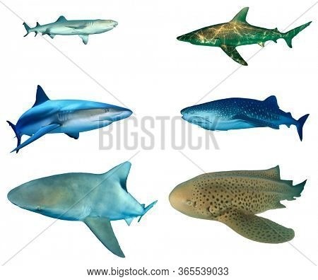 Shark species isolated on white background. Whitetip Reef Shark, Bronze Whaler, Caribbean Reef, Whale Shark, Bull and Leopard Sharks cutout