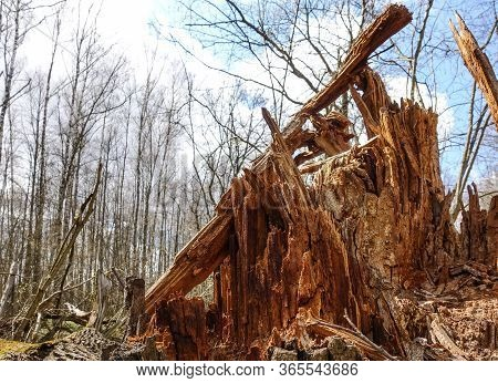 A Large Tree Is Broken By A Hurricane At The Very Root. Aftermath Of The Storm