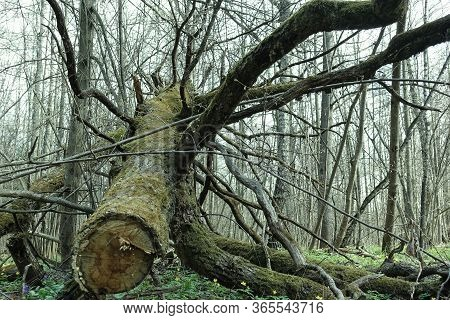 A Large Tree Is Sawn In The Forest. Wood Cutting.