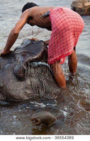 Man washing his elephant on the banks of river Periyar, India