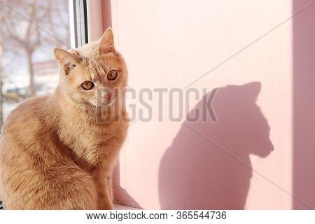 Red Cat And Its Shadow. The Cat Is Sitting On The Window Sill Next To The Pink Wall.