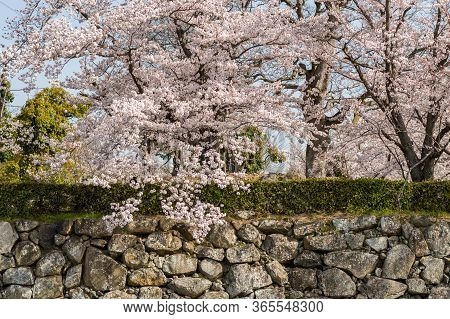 Stone Wall Of Old Himeji Castle, Known As White Egret Castle, During The Cherry Blossom Sakura Seaso