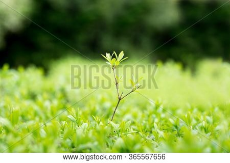 Element Of Design. Spring Summer Nature. Juicy Young Green Grass In Defocus.background For Design Wi