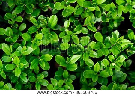 Background For Design With Shrub Leaves. Beautiful Nature Background With Greenery. Shrub Petals.
