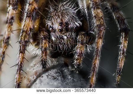 Forest Spider Or Spider Cross In Macro