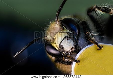 Head And Face Of Bee In Macro