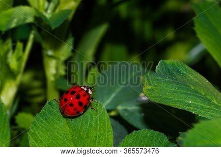 Ladybug With Black Eyes In Macro. Super Macro Photo Of Insects And Bugs. Ladybug On Green Blurred Ba