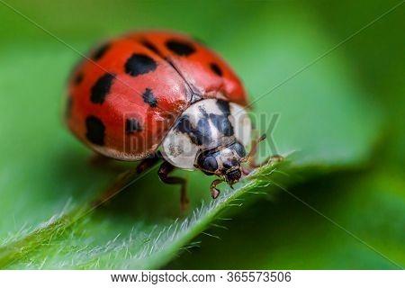 Ladybug With Black Eyes In Macro