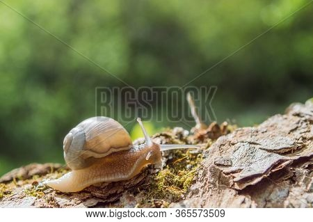 Little Snail On A Tree Branch Under The Sun. Snail In Brown Colors On Green Blurred Background. Conc