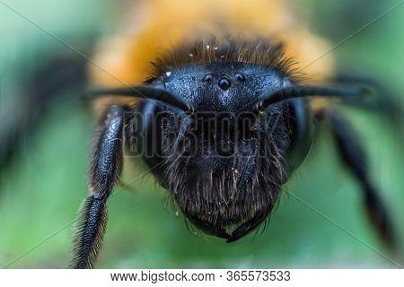 Super Macro Face Of Earth Bee