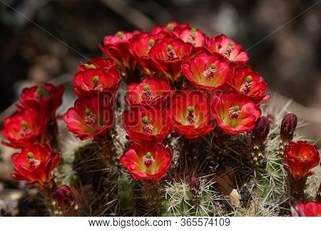 Bright Red Flowers Blooming From A Small Cactus Create A Natural Spring Bouquet