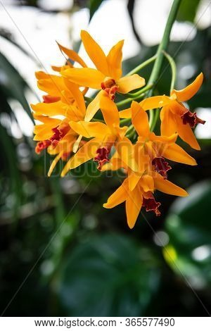 A Close-up Of Beautiful Orange Orchids In An Ornamental Garden.