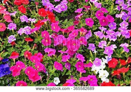 Beautiful Spring Flower Caltha Palustris - Kingcup Or Marsh Marigold. Flowering Marsh Marigold (calt