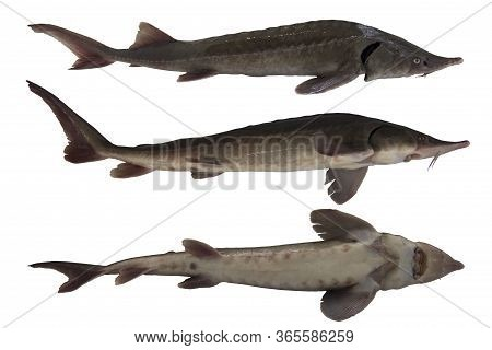 Sturgeon isolated on a white background. Young fish from different sides