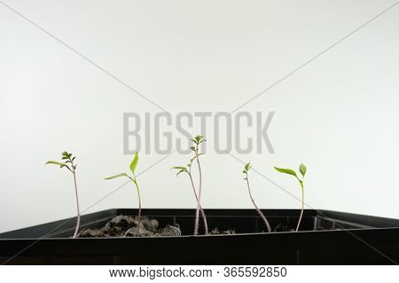 A Row Of Vegetable Seedlings Sprouting And Ready To Plant In A Home Garden With A White Background W