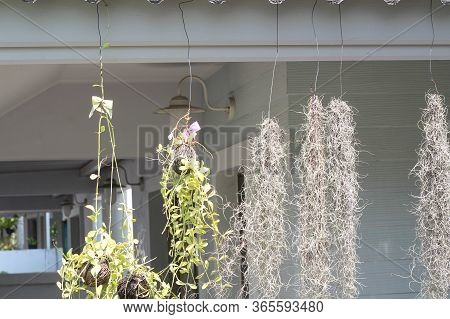 Flower Hang On Terrace To Decoration,balcony Garden And Hanging Flowers,the Roof Of The House With A