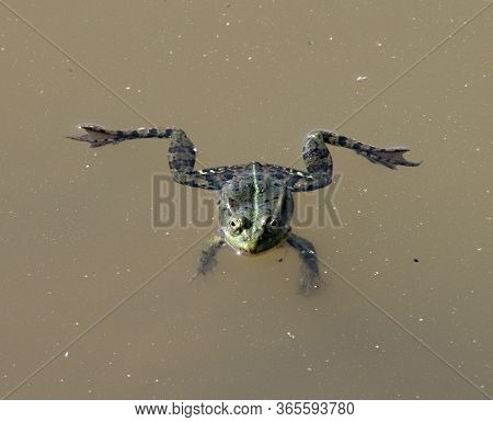 Frog (anura, Syn. Salientia) A Tailless Amphibian On The Surface Of A Pond