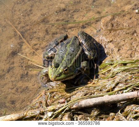 A Frog (anura, Syn. Salientia) A Tailless Amphibian At The Surface Of A Pond
