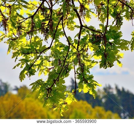Sunny Leaves Of A Tree On A Background Of Blue Sky