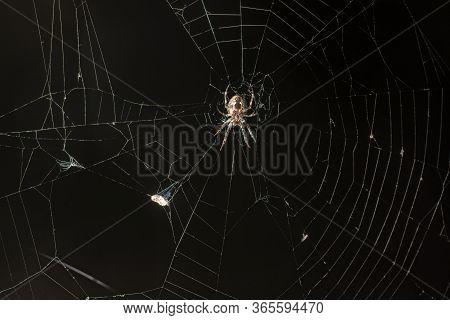 Cross Orb-weaver Spider / Arachnid In Web At Night