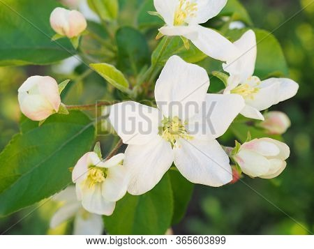 White Flowers Of An Apple Tree Close-up. Petals, Pistils, Stamens, Green Foliage. Blooming Fruit Tre