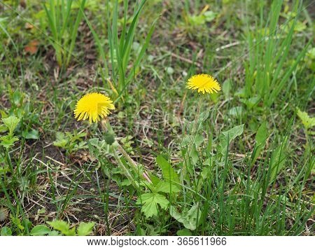 Two Yellow Dandelions On The Deep Green Background Close-up. Taraxacum Or Dandelion - Perennial Herb