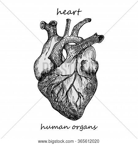 Heart. Realistic Hand-drawn Icon Of Human Internal Organs. Engraving Art. Sketch Style. Design Conce