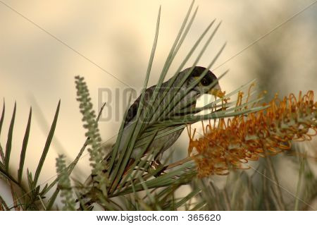 noisy miner bird eating the nectar from the flowers poster