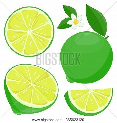 Whole And Sliced Lime Fruit, Lime Flowers And Leaves. Vector Illustration