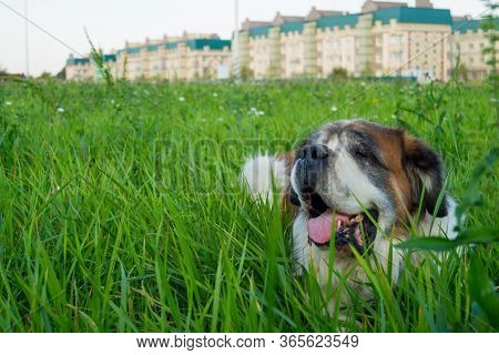 Old Saint Bernard Relaxing In Lush Grass. With Age Saint Bernards Tend To Loose Stamina And Health,