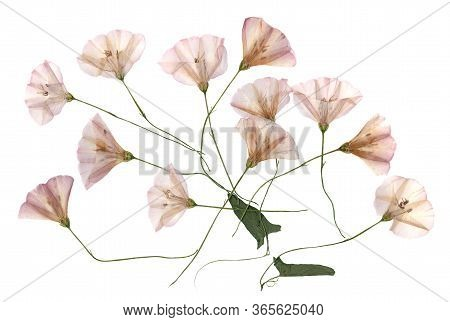 Birch Bindweed Set Dry Delicate  Leaves Petals  Fresh Light Flowers, Isolated On White Background