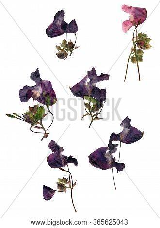 Pressed Dry Pink  Purple Flowers Petal Blossom Broken Heart  Set Isolated