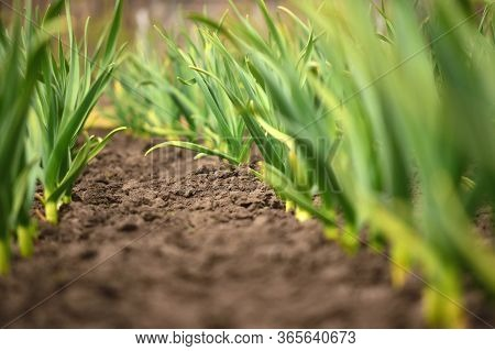 Garlic In The Backyard Garden. Organic Horticulture.