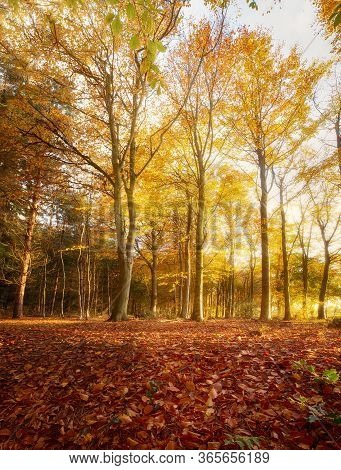 Amazing Autumn Woodland Landscape And Golden Orange Leaves. Morning Sunrise Seasonal Fall In The For