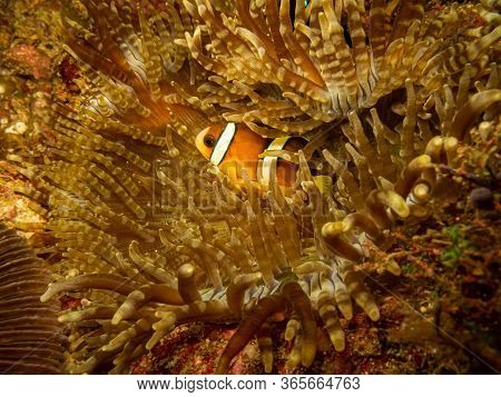 Clark's Anemonefish (clownfish) Or Amphiprion Clarkii At A Puerto Galera Reef In The Philippines. Th