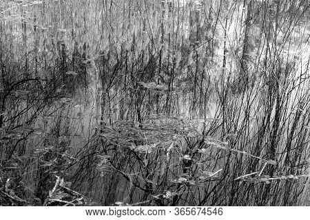 Dry Reed And Trees Reflection In Lake Water. Natural Background