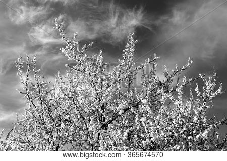 Fruit Tree In Blossom Against Blue Sky. Natural Background
