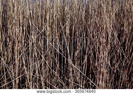 Dry Reed Texture Natural Background And Texture
