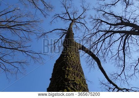 Trees Without Leaves Down Up Low Angle View. Natural Background