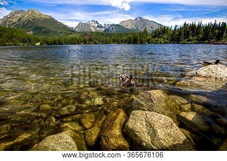 Duck In Lake In The Hight Tatras