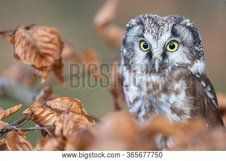 Cute Boreal Owl  Is Sitting On The Tree Branch Closeup