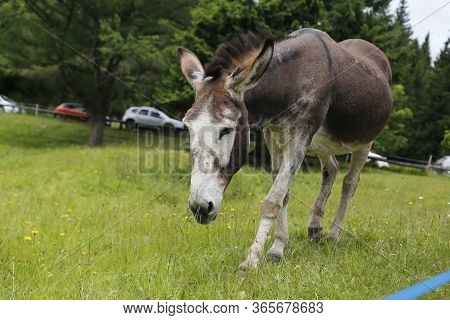 Donkey In The Pasture. Donkey In A Nature Reserve. Farm Animal In Pasture. Farm Animal, Countryside,
