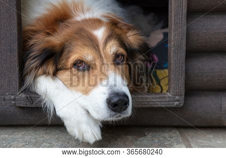 Shepherd Dog Resting In The Doghouse, Closeup View